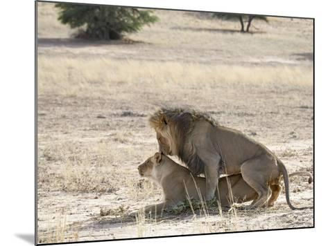 Lion Mating, Kgalagadi Transfrontier Park, South Africa-James Hager-Mounted Photographic Print