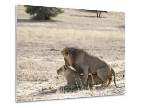 Lion Mating, Kgalagadi Transfrontier Park, South Africa-James Hager-Metal Print