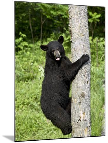 Black Bear Climbing a Tree, in Captivity, Sandstone, Minnesota, USA-James Hager-Mounted Photographic Print