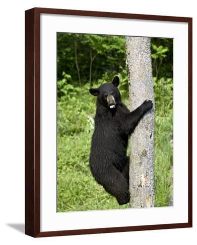 Black Bear Climbing a Tree, in Captivity, Sandstone, Minnesota, USA-James Hager-Framed Art Print