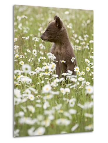 Black Bear Cub Among Oxeye Daisy, in Captivity, Sandstone, Minnesota, USA-James Hager-Metal Print
