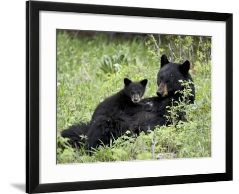 Black Bear Sow Nursing a Spring Cub, Yellowstone National Park, Wyoming, USA-James Hager-Framed Art Print