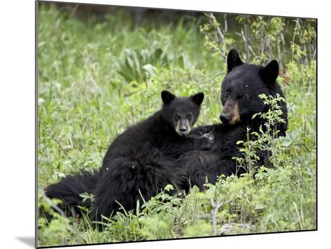 Black Bear Sow Nursing a Spring Cub, Yellowstone National Park, Wyoming, USA-James Hager-Mounted Photographic Print