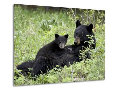 Black Bear Sow Nursing a Spring Cub, Yellowstone National Park, Wyoming, USA-James Hager-Metal Print