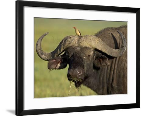Cape Buffalo with a Red-Billed Oxpecker, Ngorongoro Conservation Area, Tanzania,East Africa,Africa-James Hager-Framed Art Print
