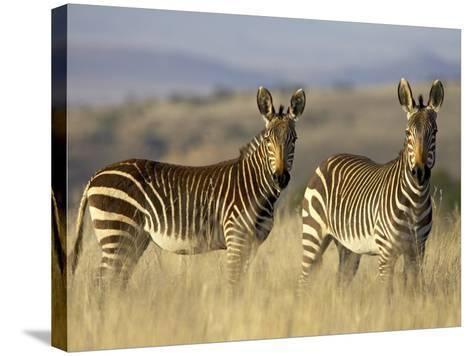 Cape Mountain Zebra, Mountain Zebra National Park, South Africa, Africa-James Hager-Stretched Canvas Print