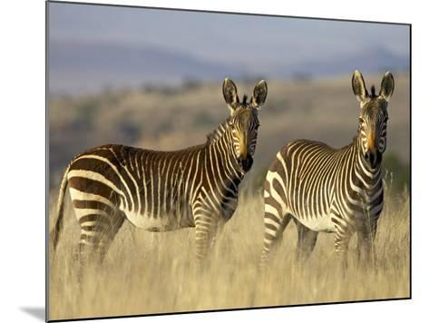 Cape Mountain Zebra, Mountain Zebra National Park, South Africa, Africa-James Hager-Mounted Photographic Print