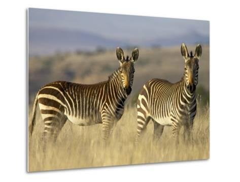 Cape Mountain Zebra, Mountain Zebra National Park, South Africa, Africa-James Hager-Metal Print