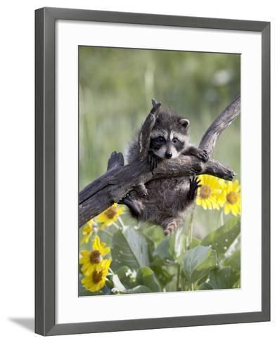 Captive Baby Raccoon, Animals of Montana, Bozeman, Montana, USA-James Hager-Framed Art Print