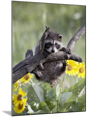 Captive Baby Raccoon, Animals of Montana, Bozeman, Montana, USA-James Hager-Mounted Photographic Print