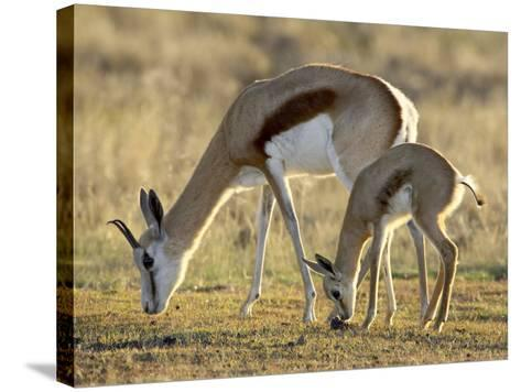 Mother and Young Springbok, Mountain Zebra National Park, South Africa-James Hager-Stretched Canvas Print