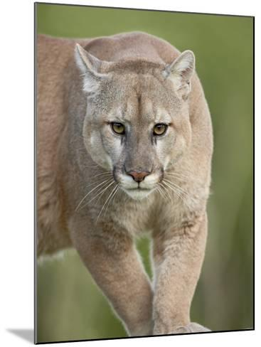 Mountain Lion or Cougar, in Captivity, Sandstone, Minnesota, USA-James Hager-Mounted Photographic Print