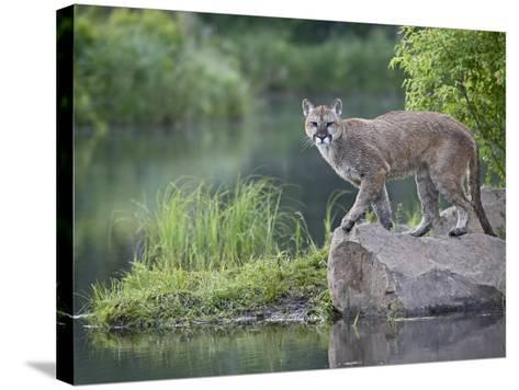 Mountain Lion or Cougar, in Captivity, Sandstone, Minnesota, USA-James Hager-Stretched Canvas Print
