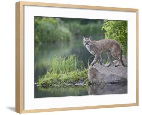 Mountain Lion or Cougar, in Captivity, Sandstone, Minnesota, USA-James Hager-Framed Art Print
