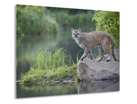 Mountain Lion or Cougar, in Captivity, Sandstone, Minnesota, USA-James Hager-Metal Print