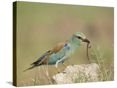 European Roller with a Worm, Serengeti National Park, Tanzania, East Africa-James Hager-Stretched Canvas Print
