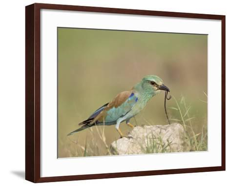European Roller with a Worm, Serengeti National Park, Tanzania, East Africa-James Hager-Framed Art Print