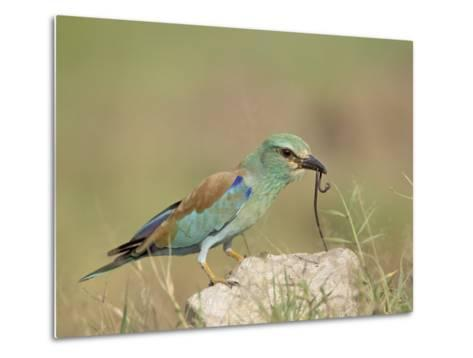 European Roller with a Worm, Serengeti National Park, Tanzania, East Africa-James Hager-Metal Print
