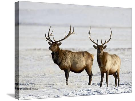 Two Bull Elk in the Snow, National Elk Refuge, Jackson, Wyoming, USA-James Hager-Stretched Canvas Print