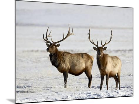 Two Bull Elk in the Snow, National Elk Refuge, Jackson, Wyoming, USA-James Hager-Mounted Photographic Print