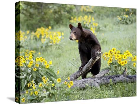 Young Black Bear Among Arrowleaf Balsam Root, Animals of Montana, Bozeman, Montana, USA-James Hager-Stretched Canvas Print