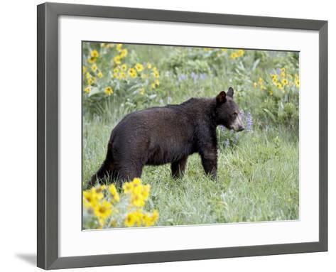 Young Black Bear Among Arrowleaf Balsam Root, Animals of Montana, Bozeman, Montana, USA-James Hager-Framed Art Print