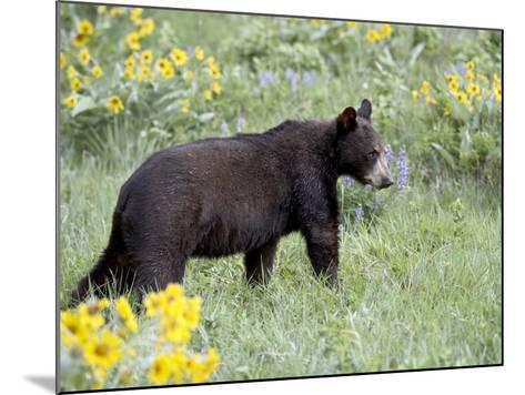 Young Black Bear Among Arrowleaf Balsam Root, Animals of Montana, Bozeman, Montana, USA-James Hager-Mounted Photographic Print