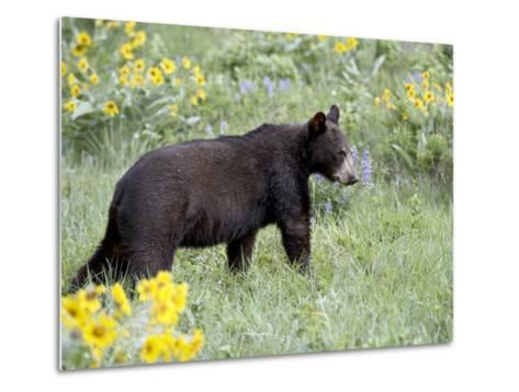 Young Black Bear Among Arrowleaf Balsam Root, Animals of Montana, Bozeman, Montana, USA-James Hager-Metal Print