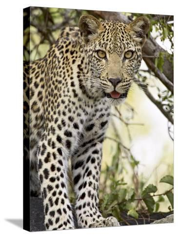 Young Leopard, Kruger National Park, South Africa, Africa-James Hager-Stretched Canvas Print
