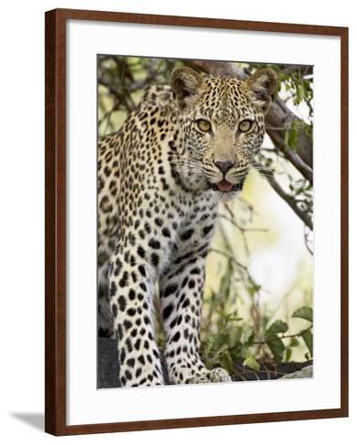 Young Leopard, Kruger National Park, South Africa, Africa-James Hager-Framed Art Print