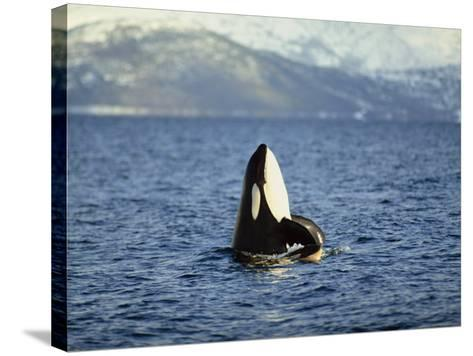 Killer Whale Spy Hopping with Calf in an Arctic Fjord, Norway, Scandinavia, Europe-Dominic Harcourt-webster-Stretched Canvas Print
