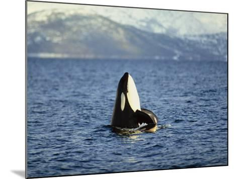 Killer Whale Spy Hopping with Calf in an Arctic Fjord, Norway, Scandinavia, Europe-Dominic Harcourt-webster-Mounted Photographic Print