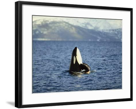 Killer Whale Spy Hopping with Calf in an Arctic Fjord, Norway, Scandinavia, Europe-Dominic Harcourt-webster-Framed Art Print