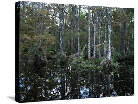 Alligators in Swamp Waters at Babcock Wilderness Ranch Near Fort Myers, Florida, USA-Fraser Hall-Stretched Canvas Print