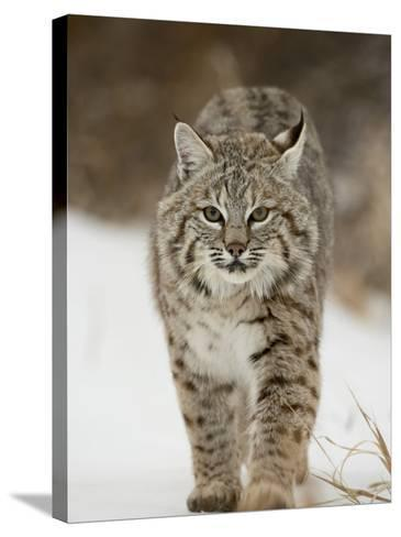 Bobcat in Snow, Near Bozeman, Montana, United States of America, North America-James Hager-Stretched Canvas Print