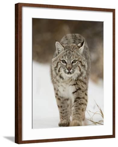 Bobcat in Snow, Near Bozeman, Montana, United States of America, North America-James Hager-Framed Art Print