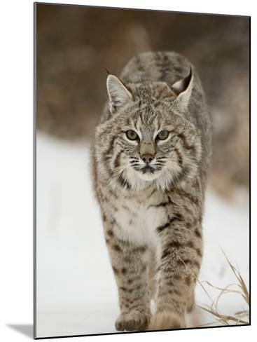 Bobcat in Snow, Near Bozeman, Montana, United States of America, North America-James Hager-Mounted Photographic Print