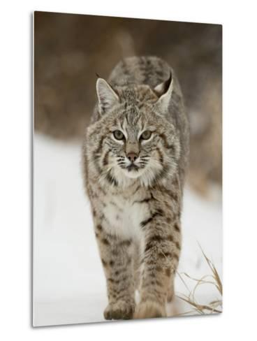 Bobcat in Snow, Near Bozeman, Montana, United States of America, North America-James Hager-Metal Print