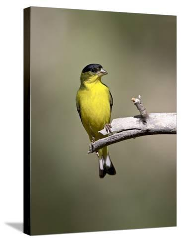 Male Lesser Goldfinch, Chiricahua National Monument, Arizona, USA-James Hager-Stretched Canvas Print