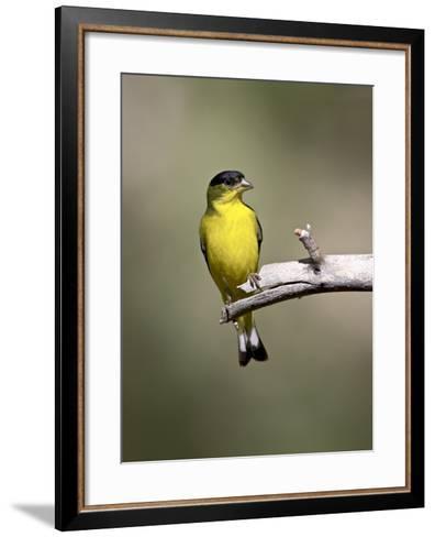 Male Lesser Goldfinch, Chiricahua National Monument, Arizona, USA-James Hager-Framed Art Print