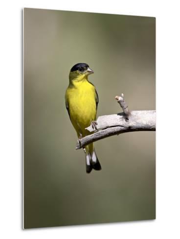 Male Lesser Goldfinch, Chiricahua National Monument, Arizona, USA-James Hager-Metal Print