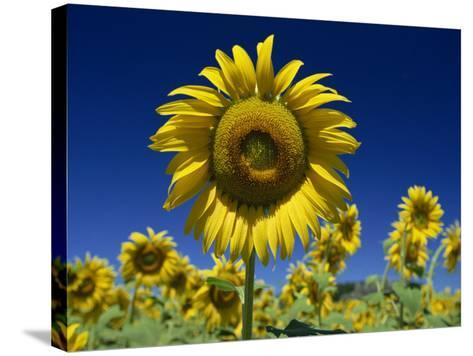 Close-Up of Sunflower in a Field of Flowers in Tuscany, Italy, Europe-Gavin Hellier-Stretched Canvas Print