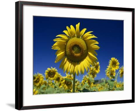 Close-Up of Sunflower in a Field of Flowers in Tuscany, Italy, Europe-Gavin Hellier-Framed Art Print