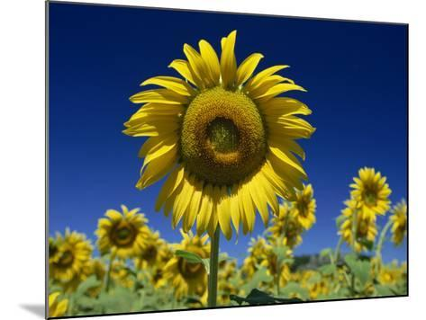 Close-Up of Sunflower in a Field of Flowers in Tuscany, Italy, Europe-Gavin Hellier-Mounted Photographic Print