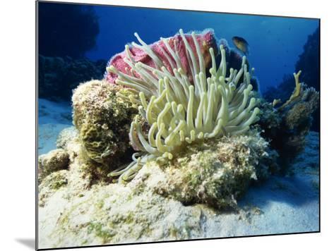 Sea Anenome, Caribbean Sea, Central America-Gavin Hellier-Mounted Photographic Print