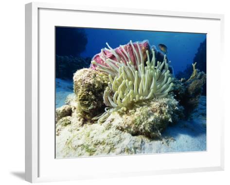 Sea Anenome, Caribbean Sea, Central America-Gavin Hellier-Framed Art Print