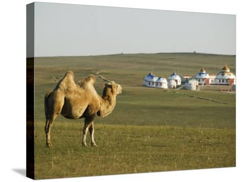 Camel with Nomad Yurt Tents in the Distance, Xilamuren Grasslands, Inner Mongolia Province, China-Kober Christian-Stretched Canvas Print