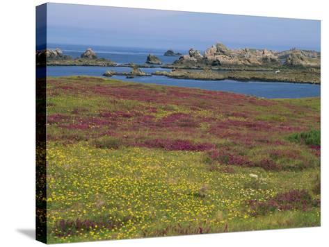 Wild Flowers on the Shore and the Rocky Coast of the Ile D'Ouessant, Finistere, Brittany, France-Miller John-Stretched Canvas Print