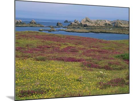Wild Flowers on the Shore and the Rocky Coast of the Ile D'Ouessant, Finistere, Brittany, France-Miller John-Mounted Photographic Print