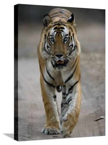 Dominant Male Indian Tiger, Bandhavgarh National Park, Madhya Pradesh State, India-Milse Thorsten-Stretched Canvas Print